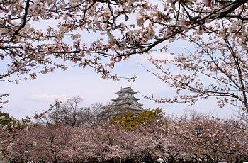 siro-sakura.jpg